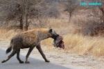 Kruger a král zvířat - lev