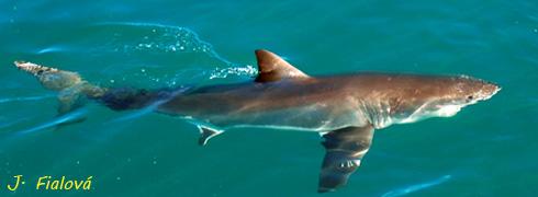 Velký-bílý-žralok-1